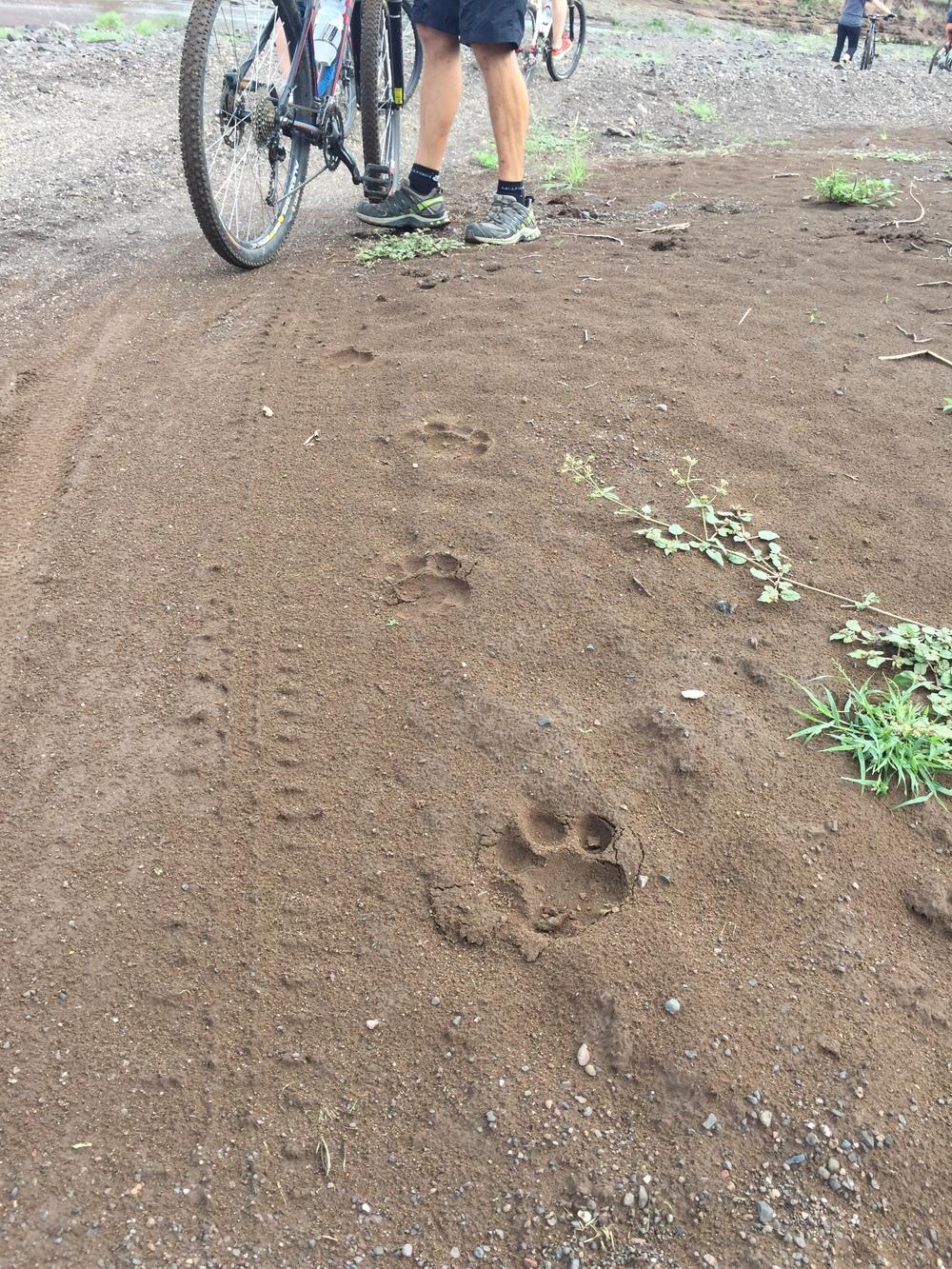 Lion tracks.jpg