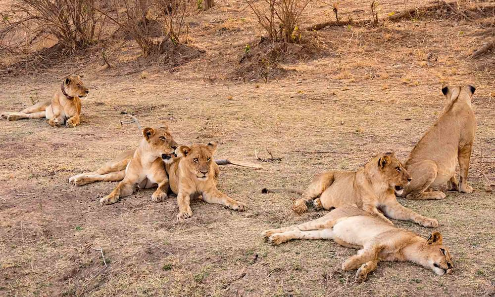A pride of lions resting after last night's meal...