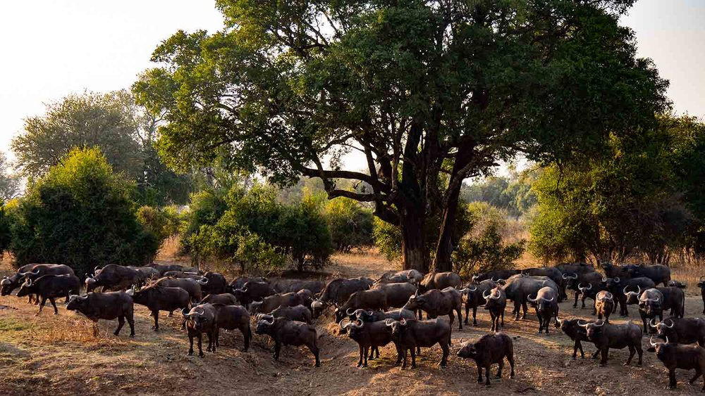 Not an uncommon sight in South Luangwa: Big herds of buffalo