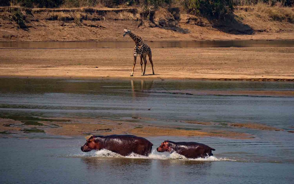 Over 40.000 hippos live in Luangwa