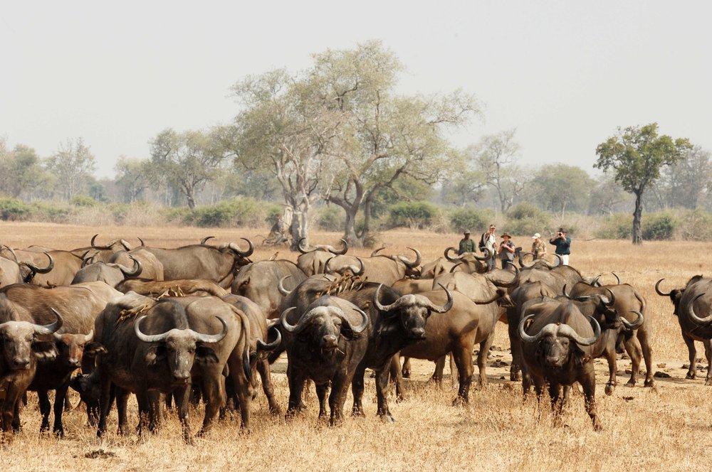 walk_buffalos_3.jpg
