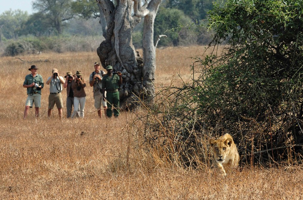 walk_lions_4.jpg