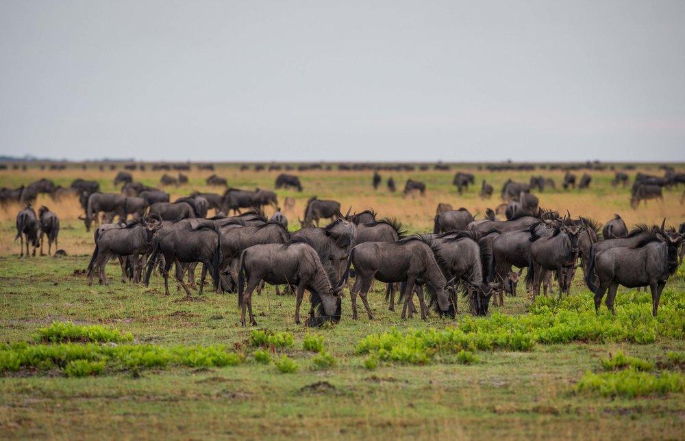wildebeest-68.jpg