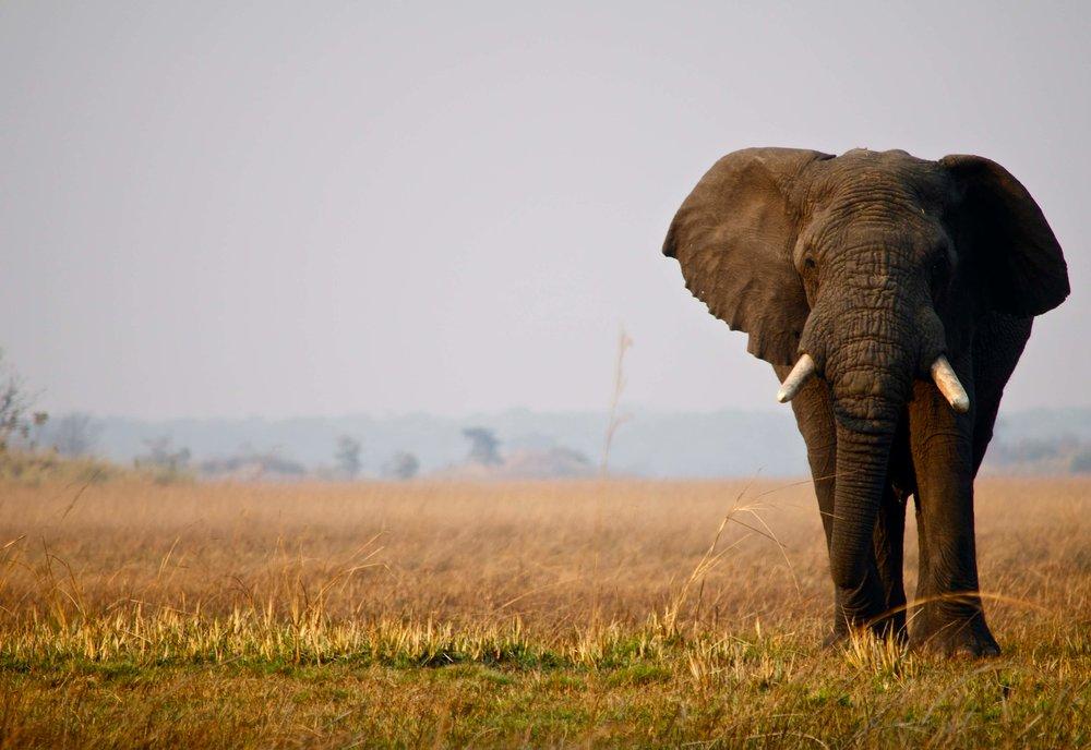 Busanga lone Elephant.jpg