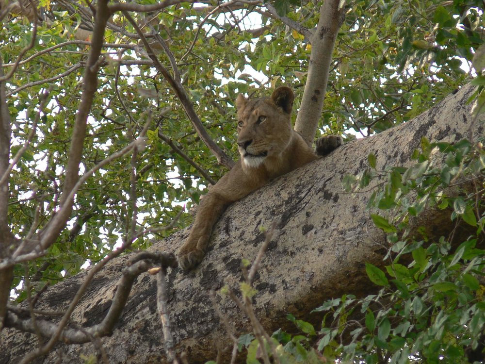 Busanga's famous tree climbing lions.JPG