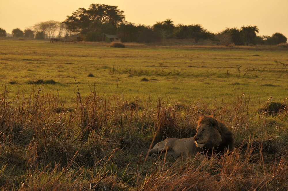 Lion with Mukambi Plains Camp on background (2).jpg
