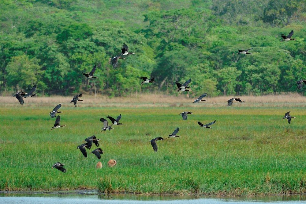 Abdim's Stork.jpg