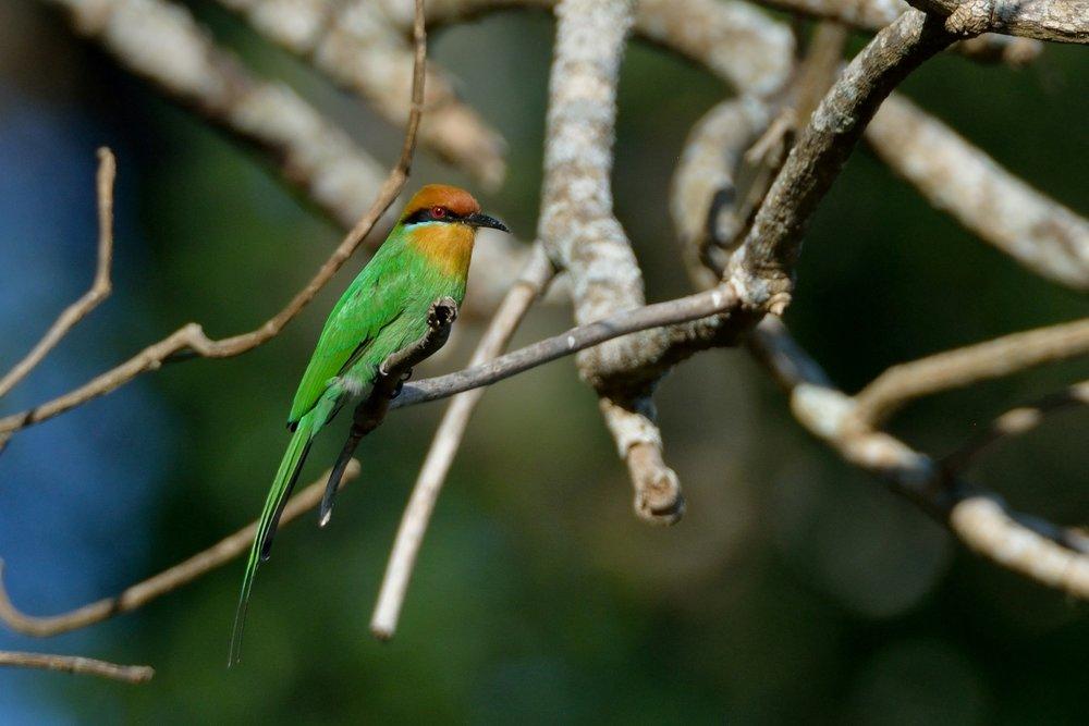 Bohm's Bee-eater .JPG