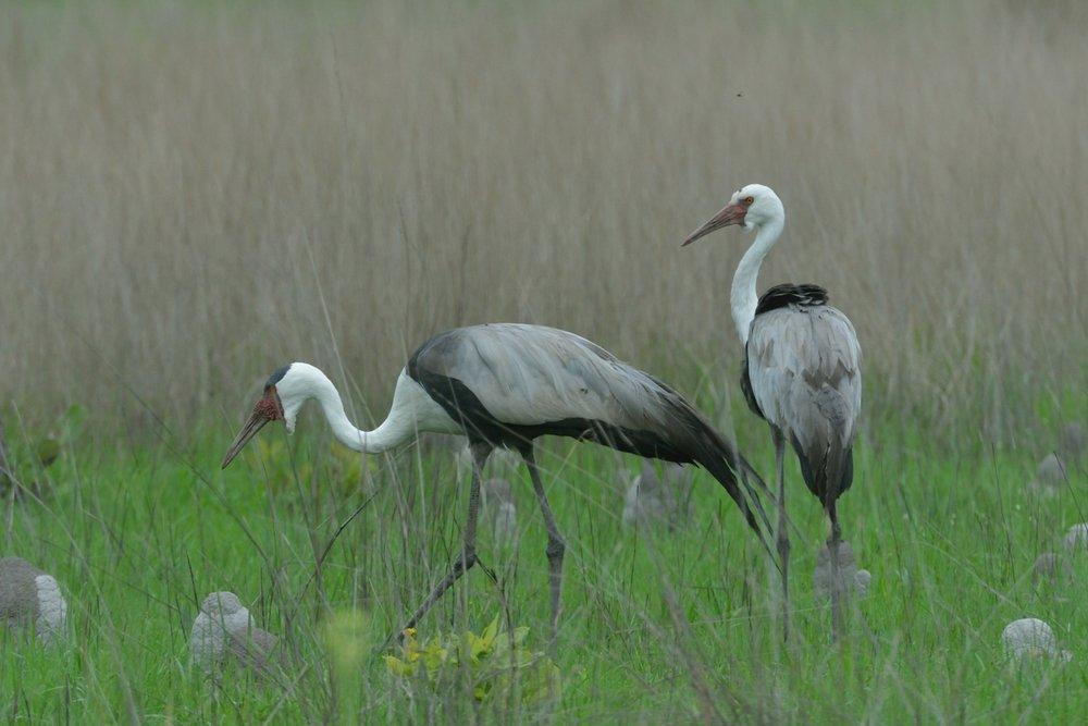 Wattled Crane .JPG