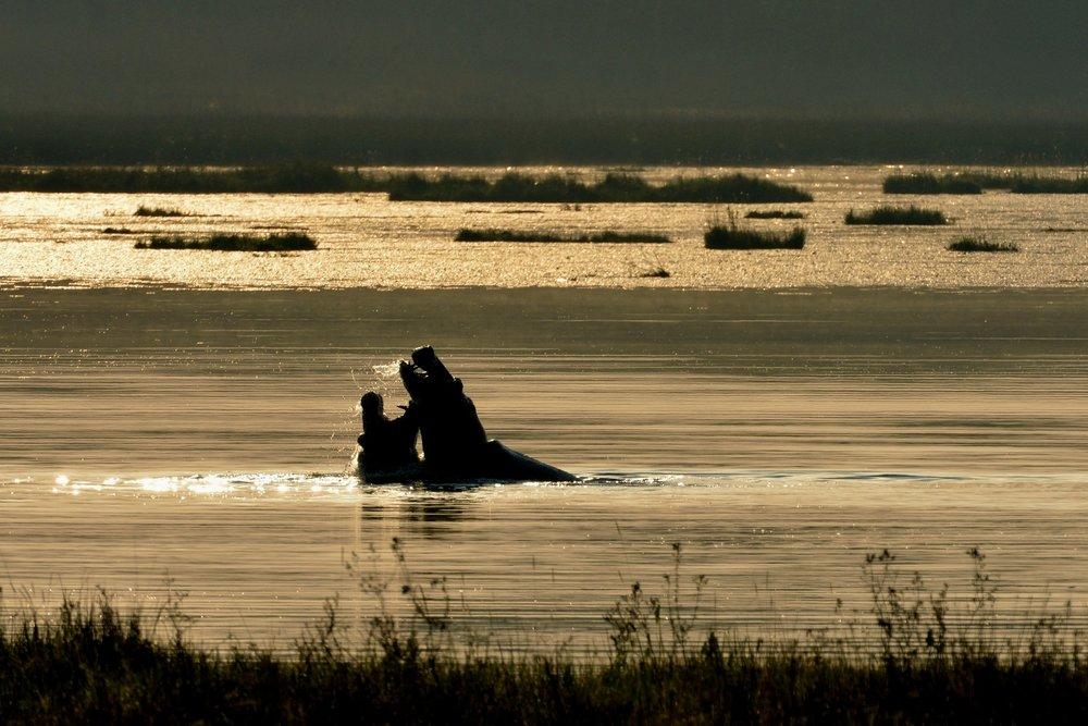 Hippo_LakeWasa  (3).jpg