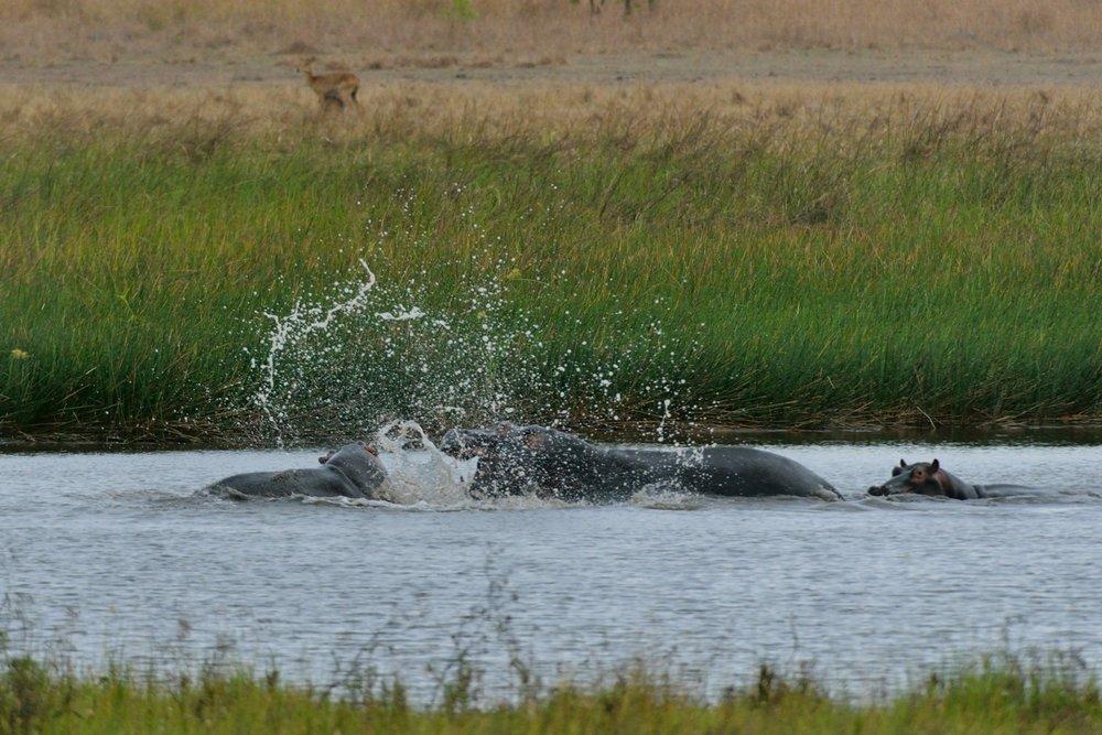 Hippo_LakeWasa (4).JPG