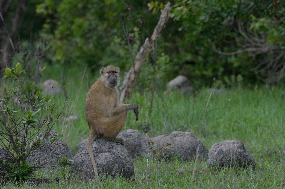 Kinda baboon (1).JPG