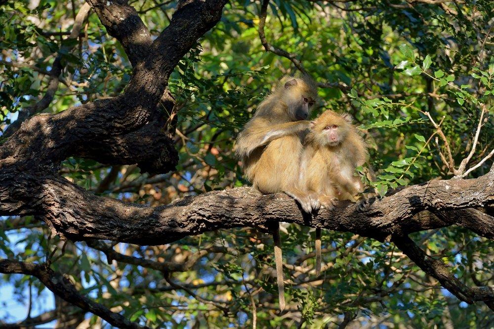 Kinda baboon (5).JPG