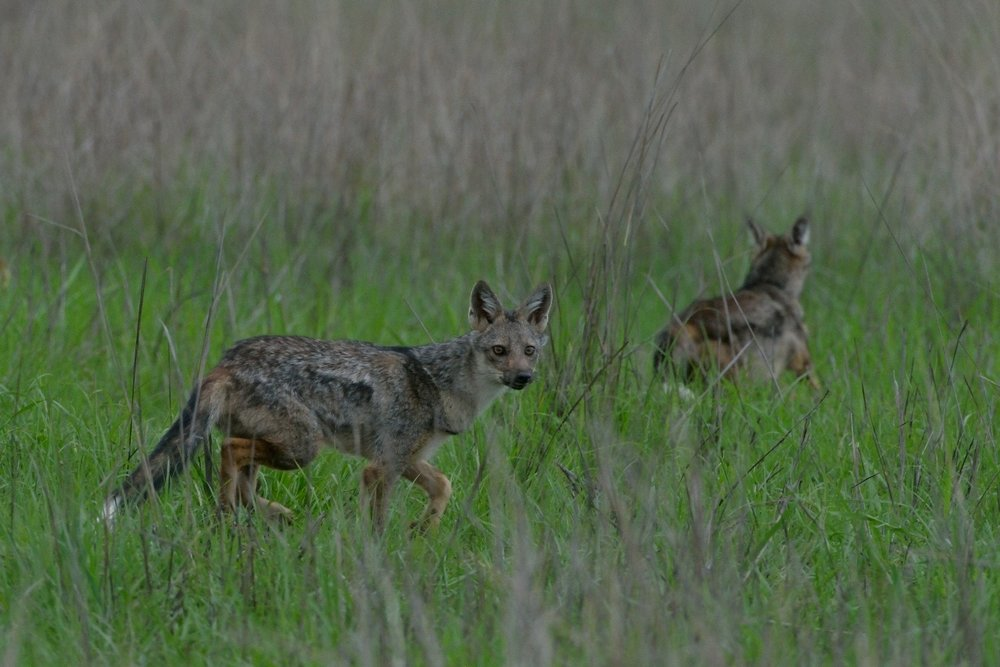 Side striped Jackal.JPG