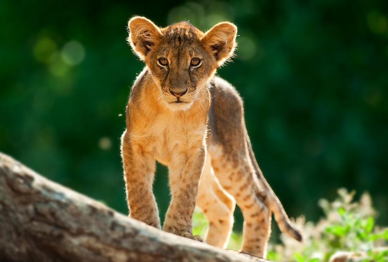 ET Lion Cub-.jpg