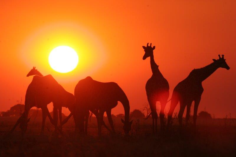 Giraffe Silhouette in Sunset.jpg