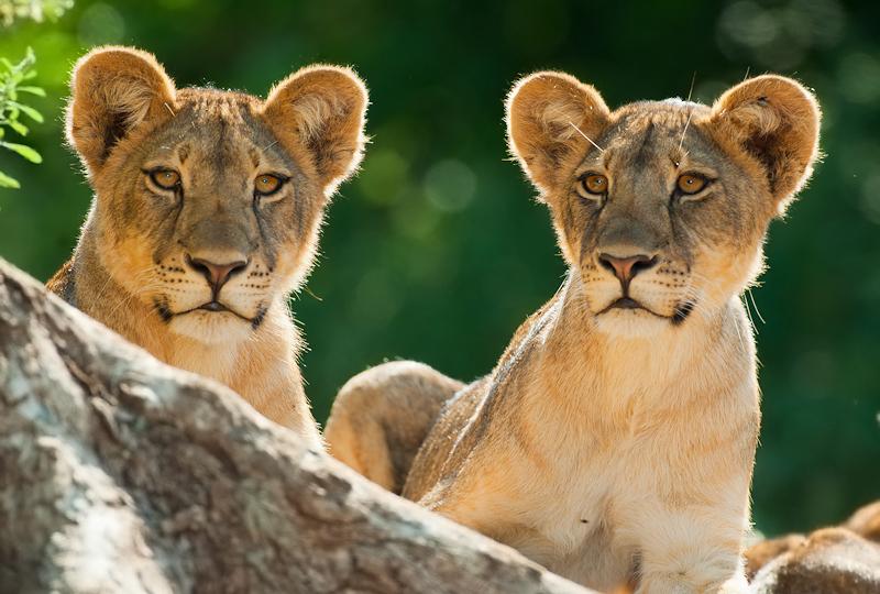 ET Lion Cubs-.jpg