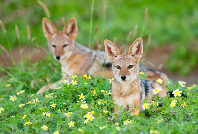 ET Black Backed Jackals-.jpg