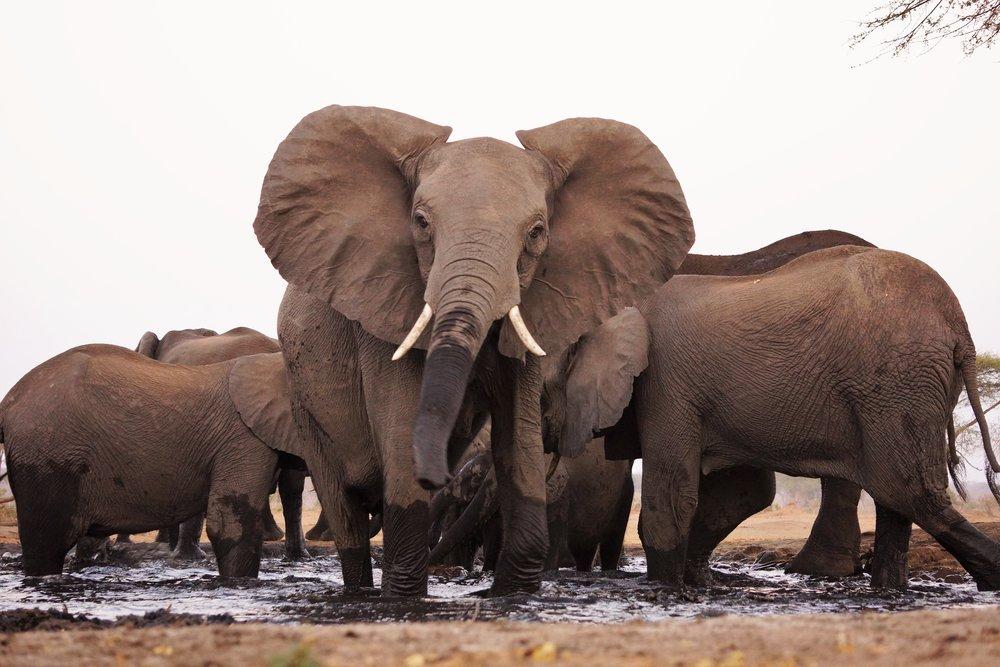 Elefanten im Schlammbad