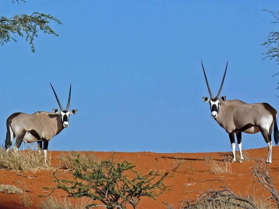 two-oryx-kalahari-desert-1-1024x731.jpg