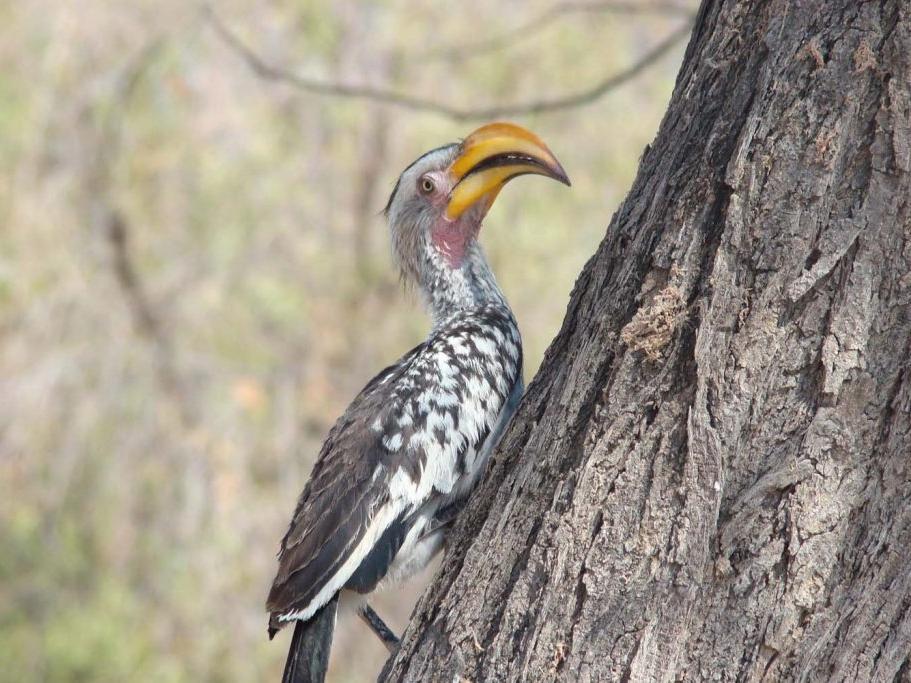 yellow-hornbill-1-1024x683.jpg