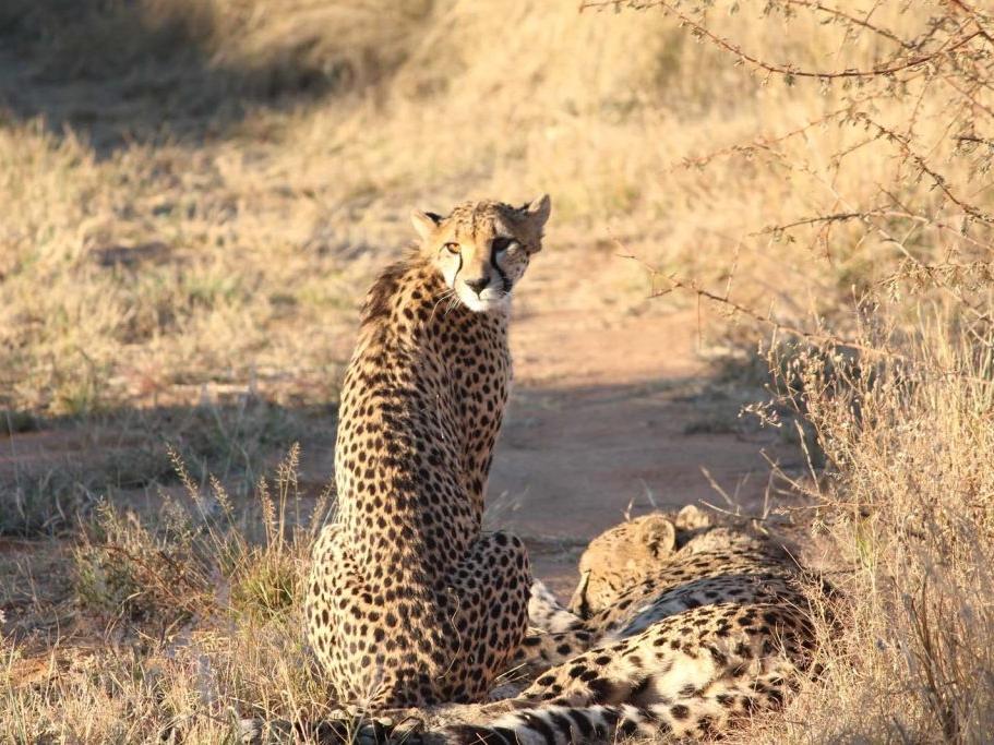 cheetah-okonjima-1-1024x683.jpg