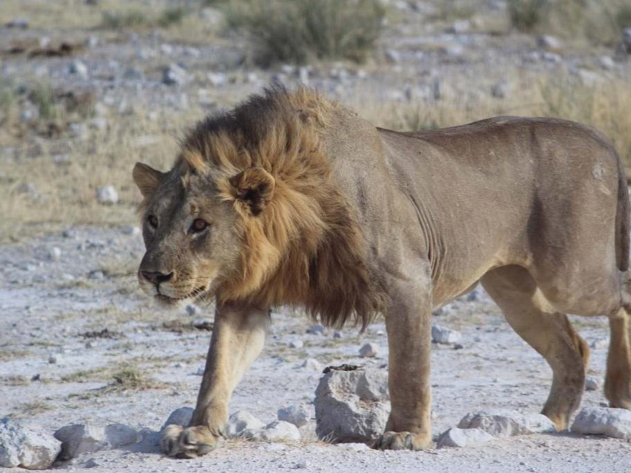lion-etosha-1-1024x683.jpg