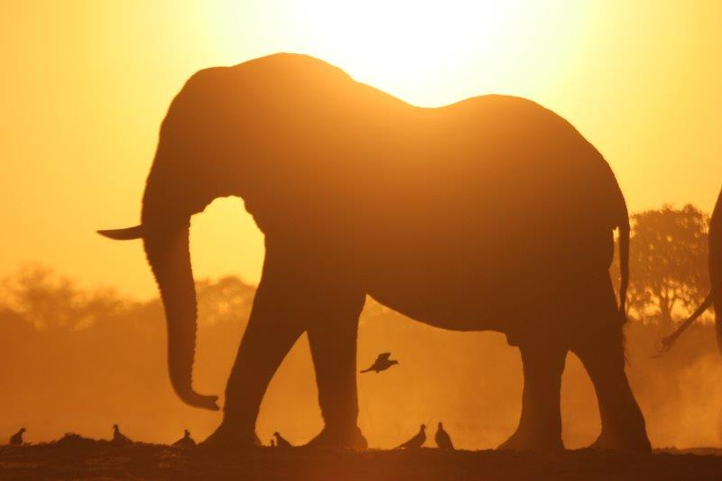 Elephant with Cape Turtle Doves At Sunset.jpg