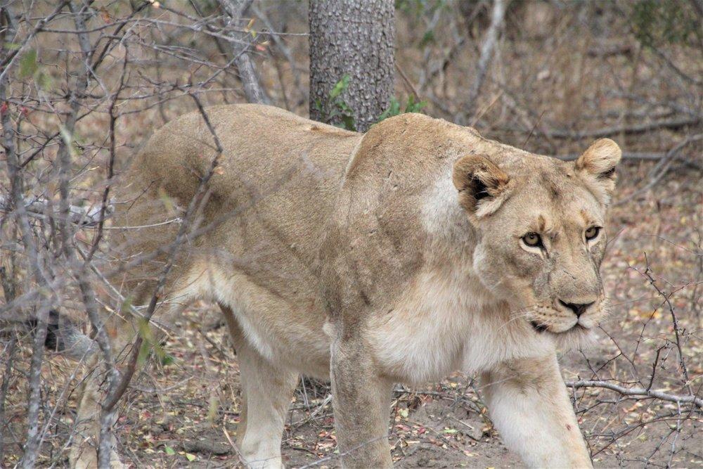 lioness_karongwe.JPG