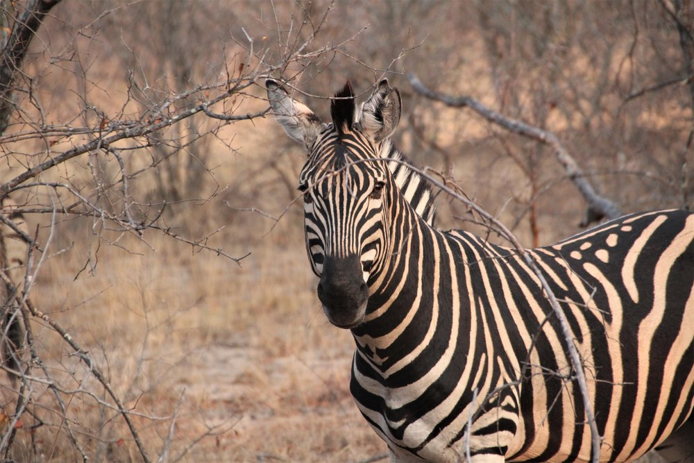 zebra_karongwe.JPG