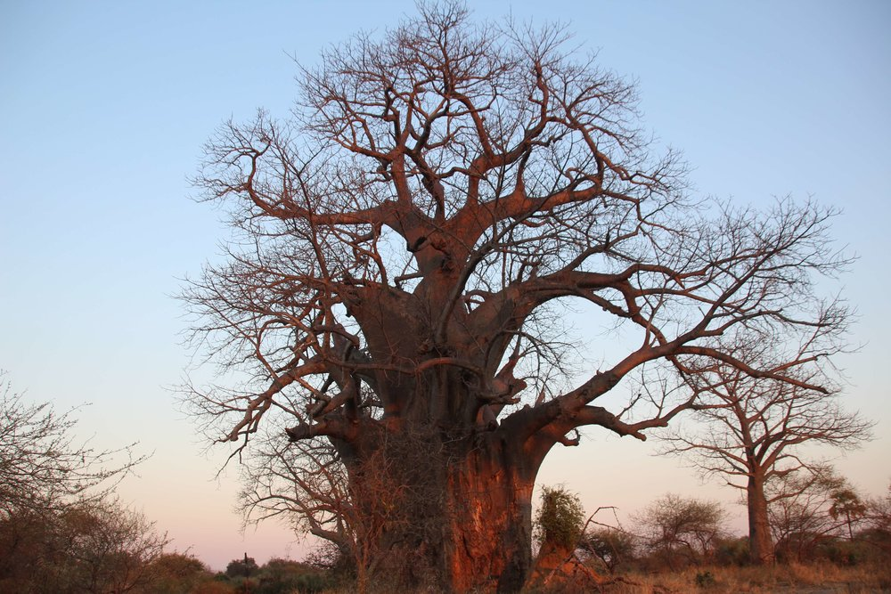 baobab_makuleke.JPG