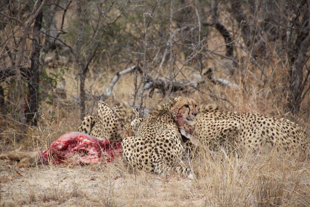 cheetahs_karongwe.JPG