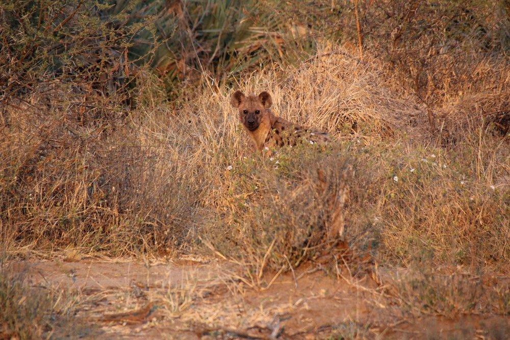 hyena_makuleke.JPG