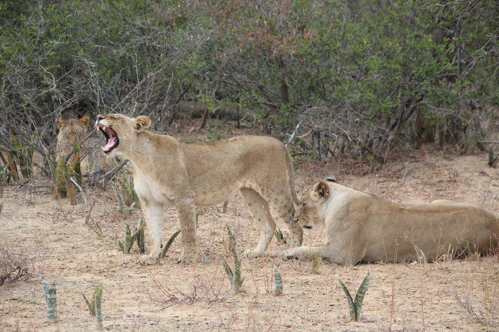 lions_karongwe.JPG
