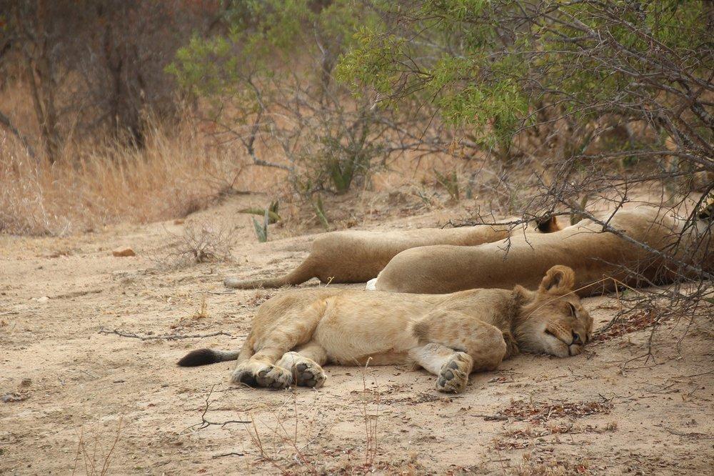 lions_karongwe2.JPG