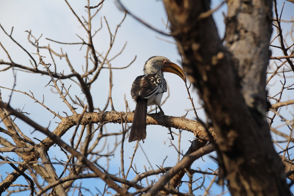 red_crested_hornbill_karongwe.JPG