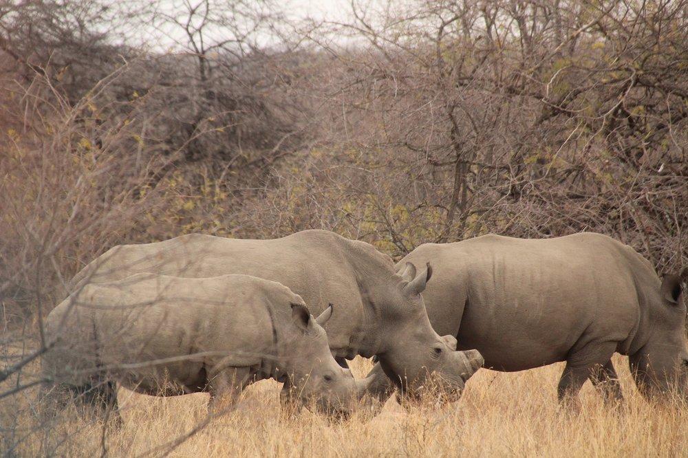rhinos_karongwe.JPG