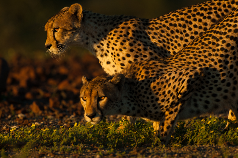 ET Cheetah-9342.jpg