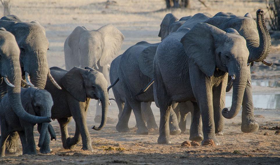 elephants drinking from the camp waterhole (1).jpg