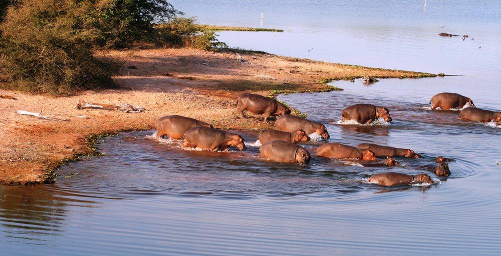 Changa_-_Hippos.jpg
