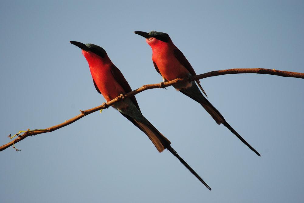 changa_birding_-_carmine_bee_eater1.jpg