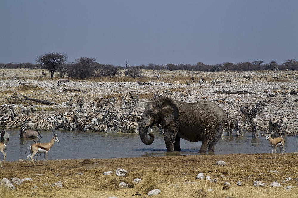 Elephant drinking at Okaukuejo Waterhole.jpg