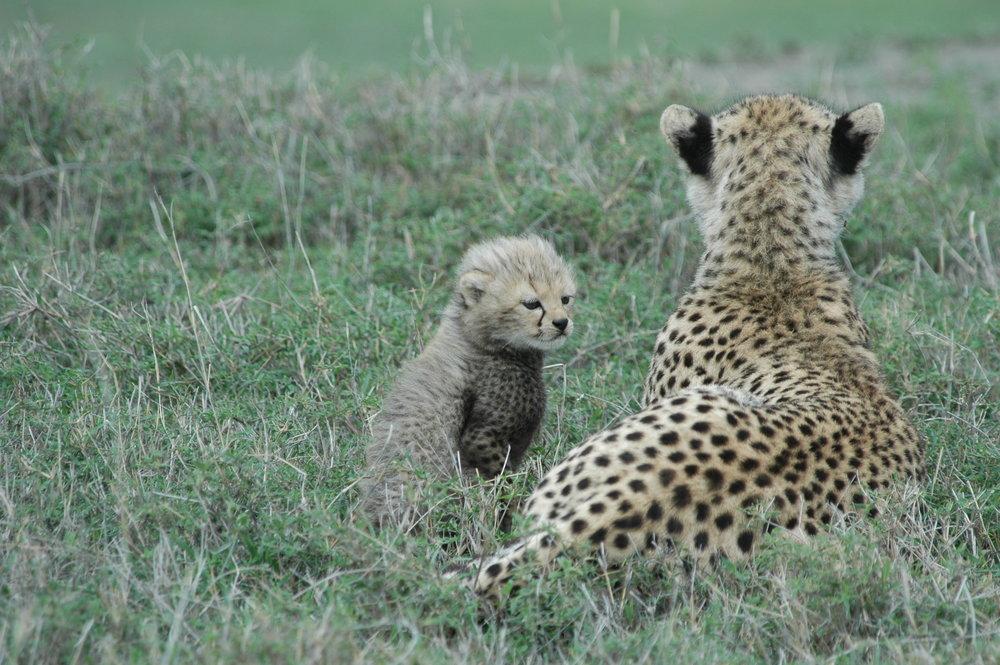 Cheetah .JPG