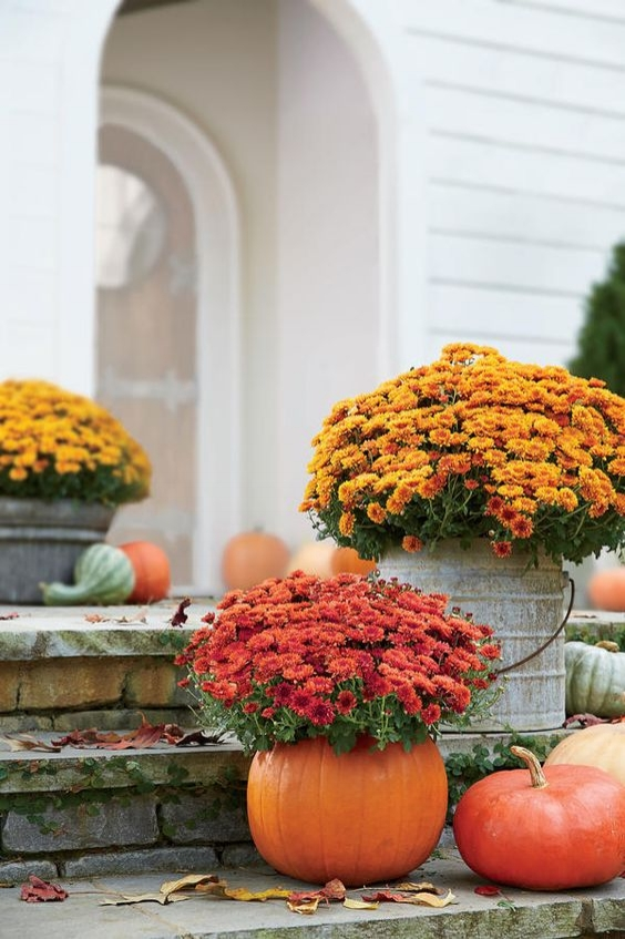 fall mums with pumpkins