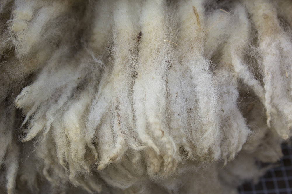 Clun Forest fleece
