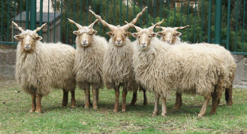 Racka Sheep, image courtesy of Wikimedia Commons