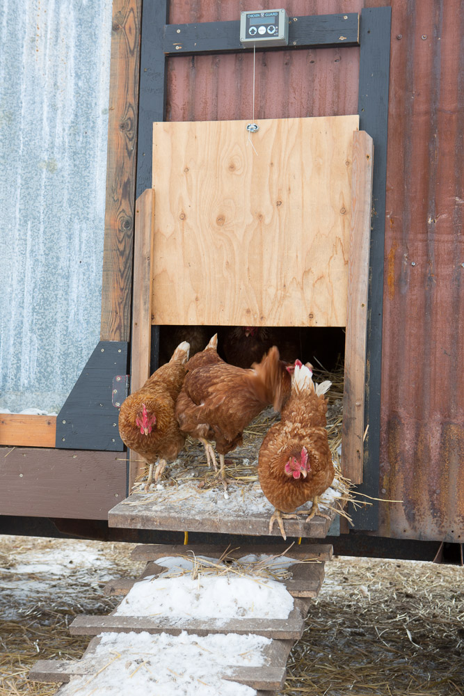 The chickens bust out of the barns early in the morning and travel back into the barn to lay eggs via ramps. When the barns are moved with the tractor, the ramps hang on the sides of the barns.