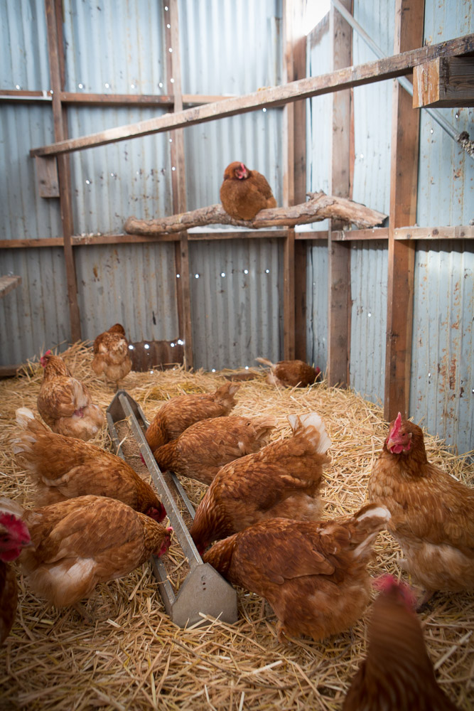 Our chickens consume strictly organic feed. We add fish meal, crab meal, and probiotics to the feed. When it's too cold to provide additional alfalfa hay outside, they sometimes get kelp in their feed.
