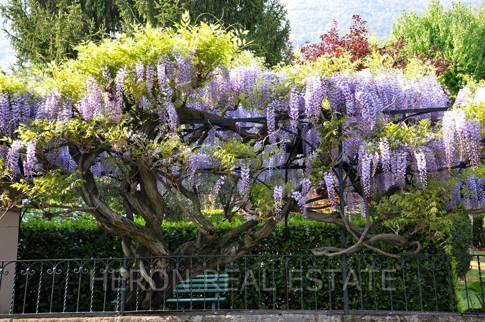 wisteria in cadenabbia