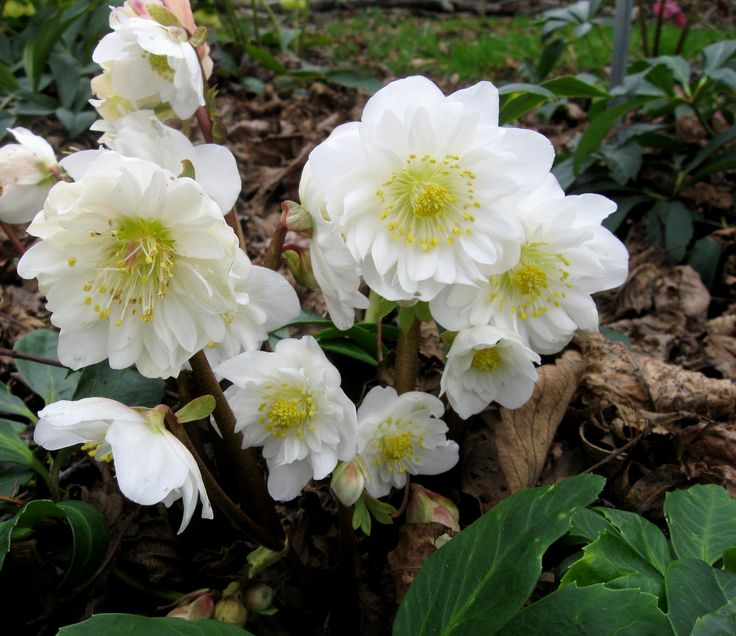 Snow Frills Hellebore Robin Kramer Garden Design Blog  http://www.robinkramergardendesign.com/rkgd-blog/